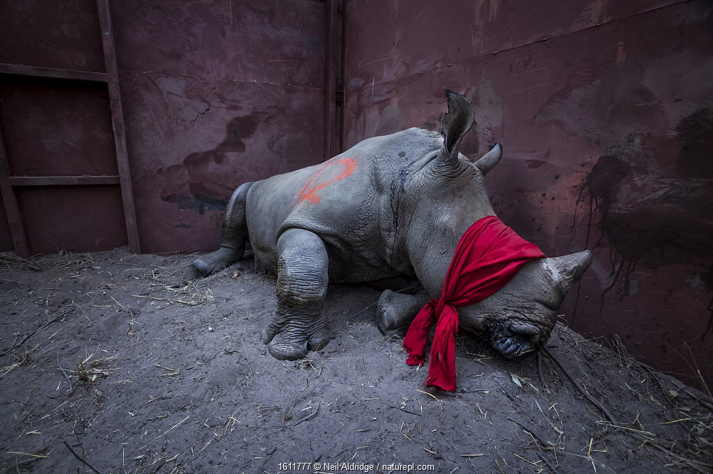 Young White rhinoceros (Ceratotherium simum) in a reinforced steel boma, blindfolded and partially drugged after a long journey from South Africa, before being released into the wild in Botswana. September 2017. Winner of the Environment Singles category in the 2018 World Press Photo contest. Highly commended in the GDT European Wildlife Photographer of the Year Award 2017. Highly Commended in the Natural World Category of the Sony Photography Awards 2018. Gold Winner of the Nature Category, and Third place in the Press category of the Paris Photography Prize 2018. Runner up in the Science & Natural History category Picture of the Year International (POYI) 2018. Winner of the Environmental Picture Story Category of the NPPA Best in Photojournalism contest.