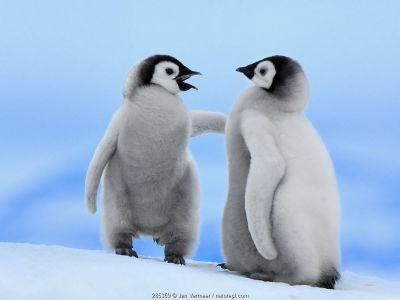 Emperor Penguin (Aptenodytes forsteri) chick pair, Snow Hill Island, Antarctica