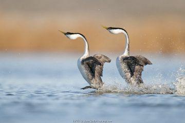Western Grebe (Aechmophorus occidentalis) pair in courtship dance, North Dakota