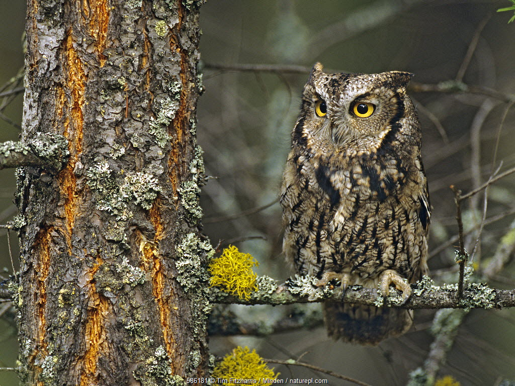 Western Screech Owl (Megascops kennicottii), North America