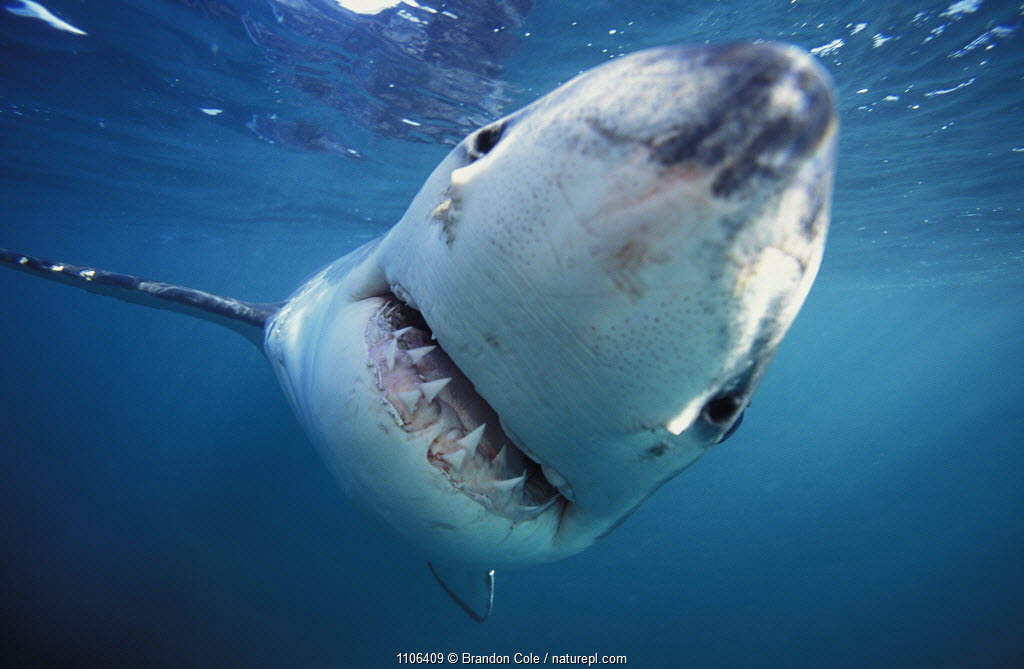 Curious Great white shark head on (Carcharodon carcharias) Dyer Island, Shark Alley, Gansbaai, South Africa