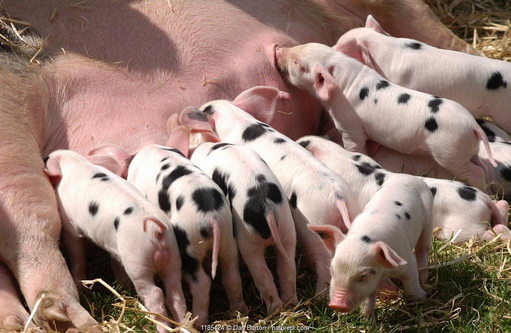 Piglets suckling {Sus scrofa domestica} UK