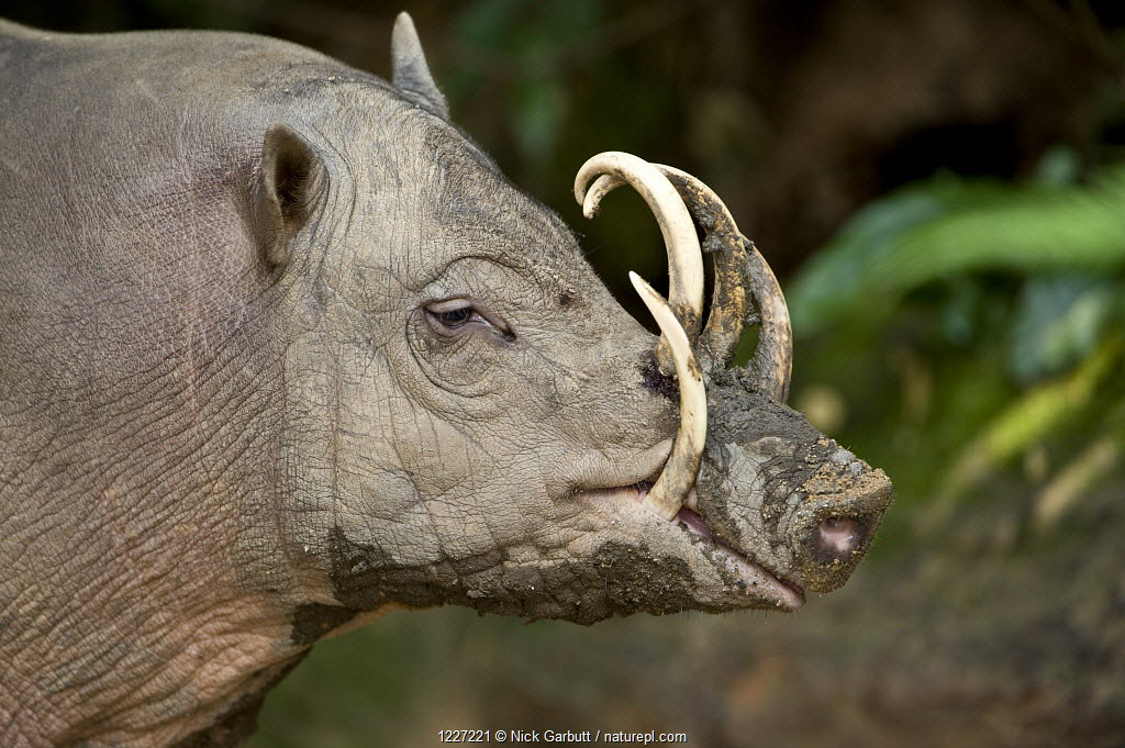 Male Babirusa (Babyrousa celebensis) from the Island of Sulawesi, Indonesia. Captive, Singapore Zoo.