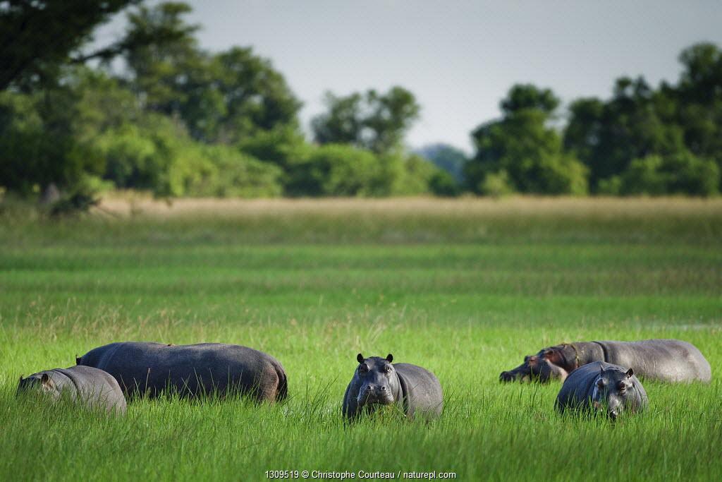 Group of Hippopotamus (Hippopotamus amphibius) grazing in the Okavango Delta, Botswana