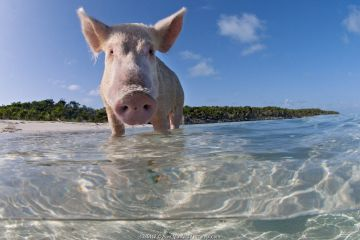 Split level view of a domestic pig (Sus domestica) bathing in the sea. Exuma Cays, Bahamas. Tropical West Atlantic Ocean. This family of pigs live on this beach in the Bahamas and enjoy swimming in the sea.