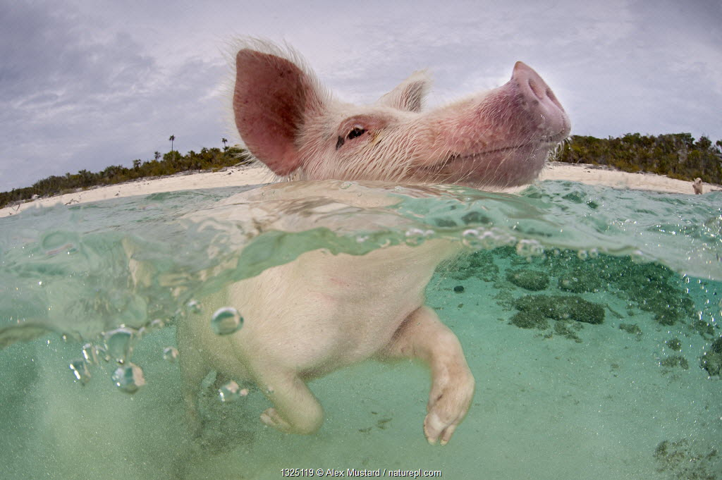 Domestic pig (Sus domestica) swimming in sea. Exuma Cays, Bahamas. Tropical West Atlantic Ocean. This family of pigs live on this beach in the Bahamas and enjoy swimming in the sea.