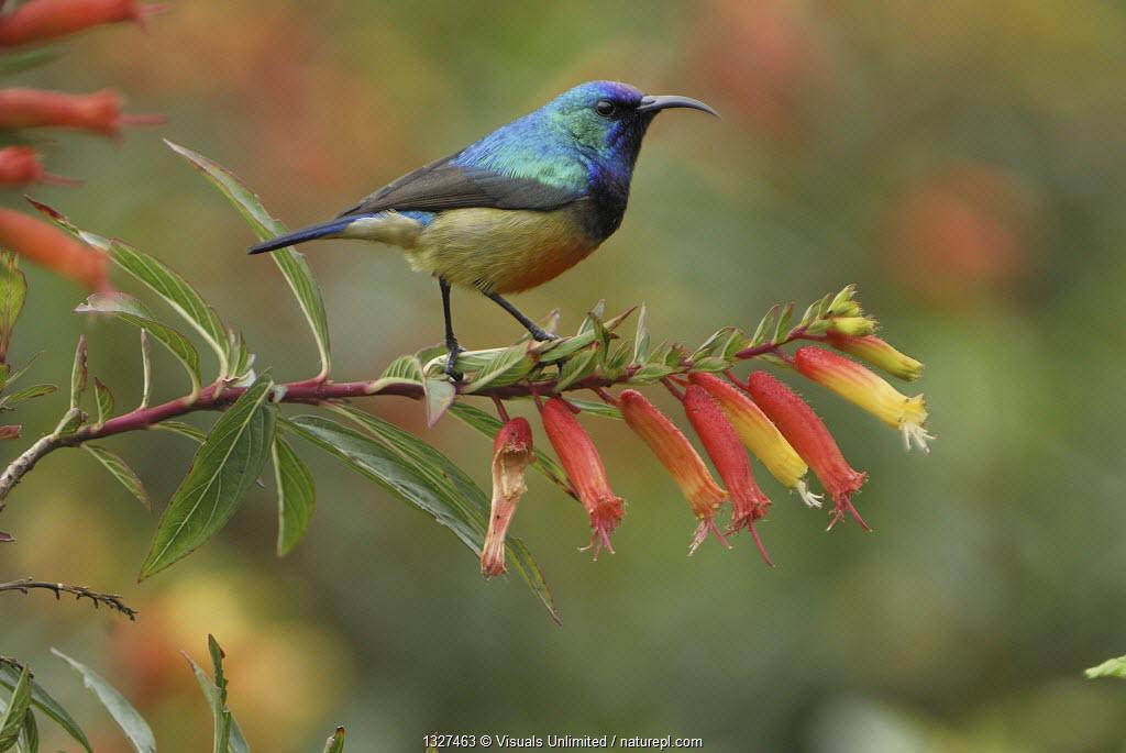 Sunbird (Nectarinia sp), Nyungwe Forest National Park, Rwanda.