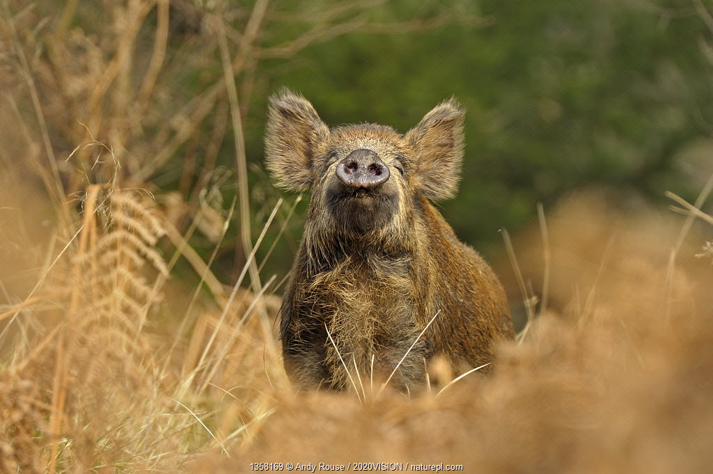 Wild Boar (Sus scrofa) female smelling air for scent of human, Forest of Dean, Gloucestershire, UK, March