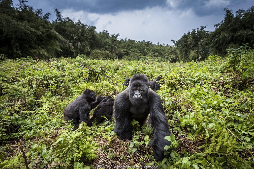 Mountain gorillas (Gorilla beringei) Hirwa group led by the silverback dominant male Munyinya, Volcanoes National Park, Rwanda, elevation 2610 m
