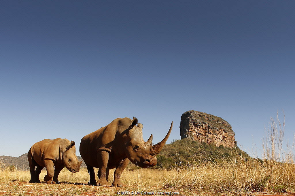 White rhinoceros (Ceratotherium simum) mother and calf browsing. Entabeni Safari Conservancy, Limpopo region, Waterberg, South Africa, October