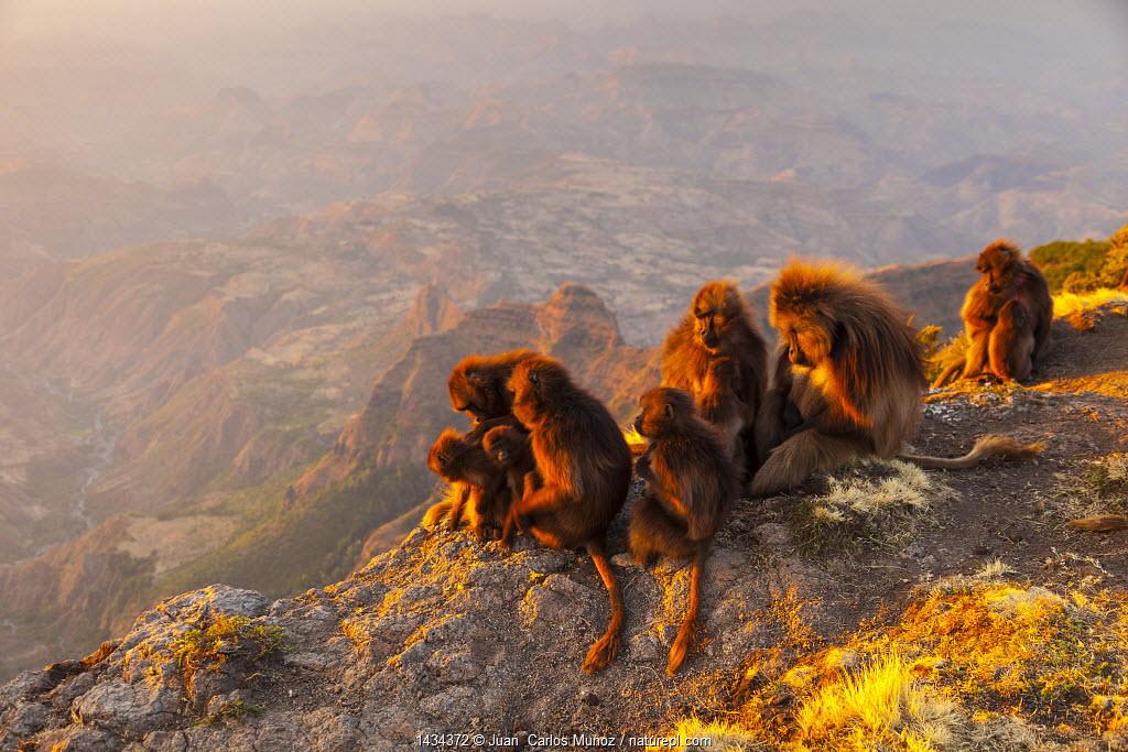 Gelada baboon (Theropithecus gelada) troop, Simien Mountains, Ethiopia, Africa