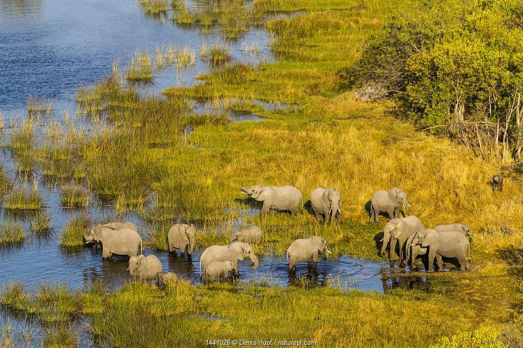 RF- Elephant (Loxodonta Africana) herd in wetlands, aerial view, Okavango delta, Botswana