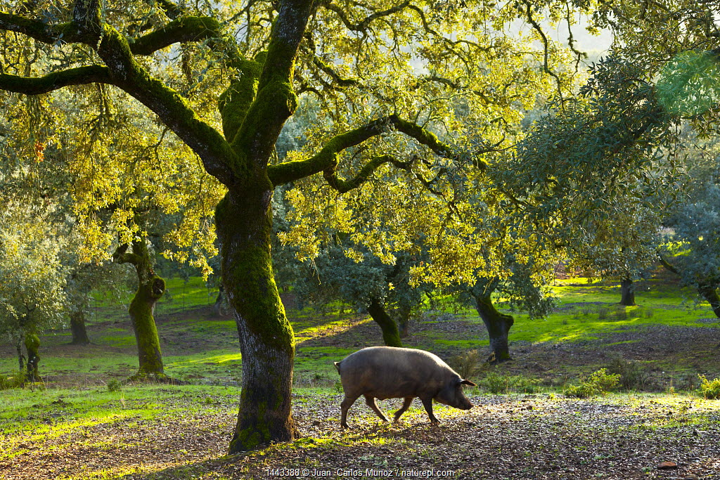 Iberian black pig foraging in oak woodland, Sierra de Aracena Natural Park, Huelva, Andalucia, Spain, Europe. Breed used to produce Iberico ham / Jamon Iberico