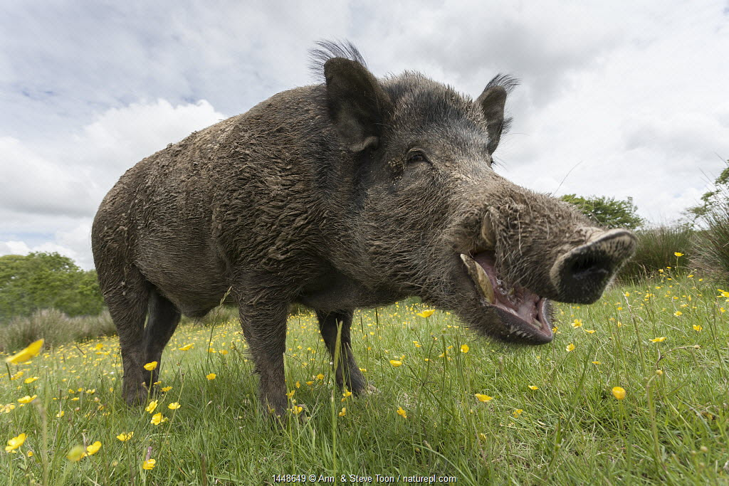Wild boar (Sus scrofa), captive, UK, June