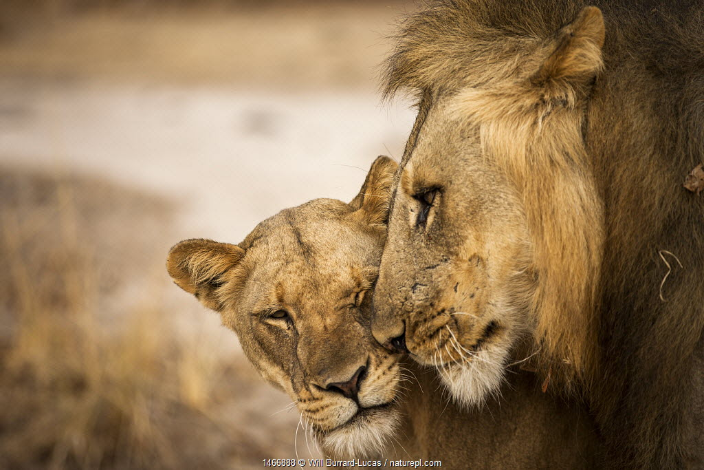 African lion (Panthera leo) pair, male nuzzling female, South Luangwa National Park, Zambia. September.