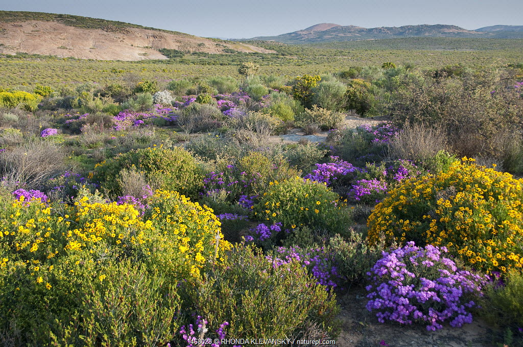 Namaqualand fynbos in flower, Namaqualand, Northern Cape, South Africa, August.