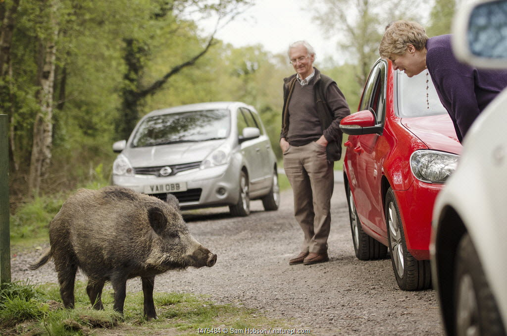 Wild boar (Sus scrofa) at roadside with people and cars. Forest of Dean, Gloucestershire, UK. May 2013.
