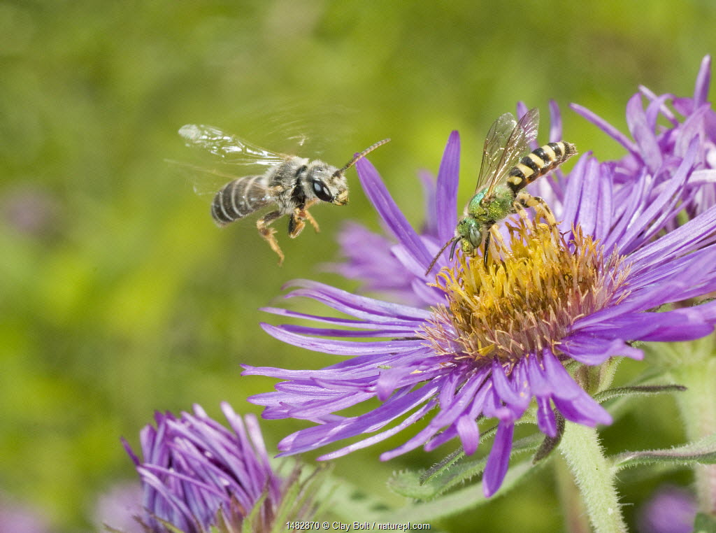 Halictid Bee, (Halictus poeyi) and Sweat bee (Agapostemon splendens) on Aster, Southern Appalachians, South Carolina, USA, June.