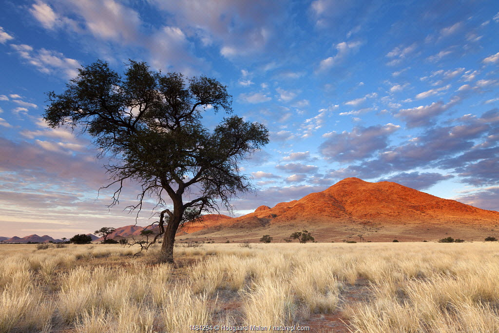 Camelthorn tree at sunrise with mountain beyond. Namib Rand, Namibia. May 2010.