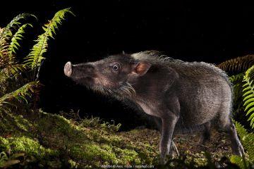 Bearded pig (Sus barbatus) foraging for food at night, Maliau Basin, Sabah, Borneo.