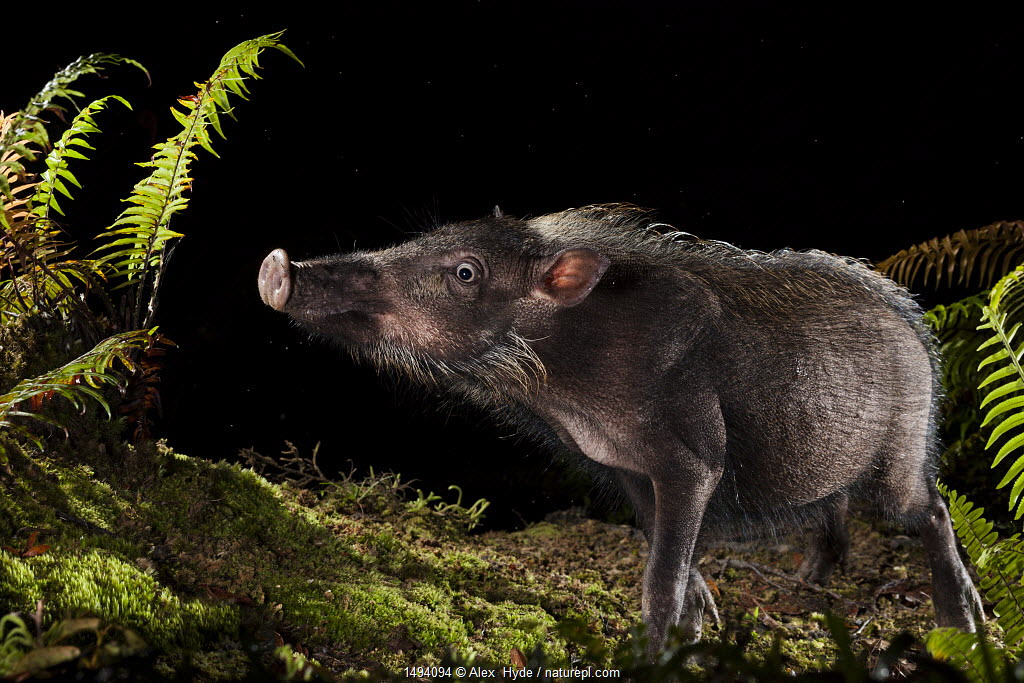 Bearded pig (Sus barbatus) foraging for food at night, Maliau Basin, Sabah, Borneo.