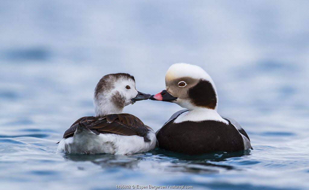 Pair of Long-tailed Ducks (Clangula hyemalis) beak to beak, Batsfjord, Norway. March.