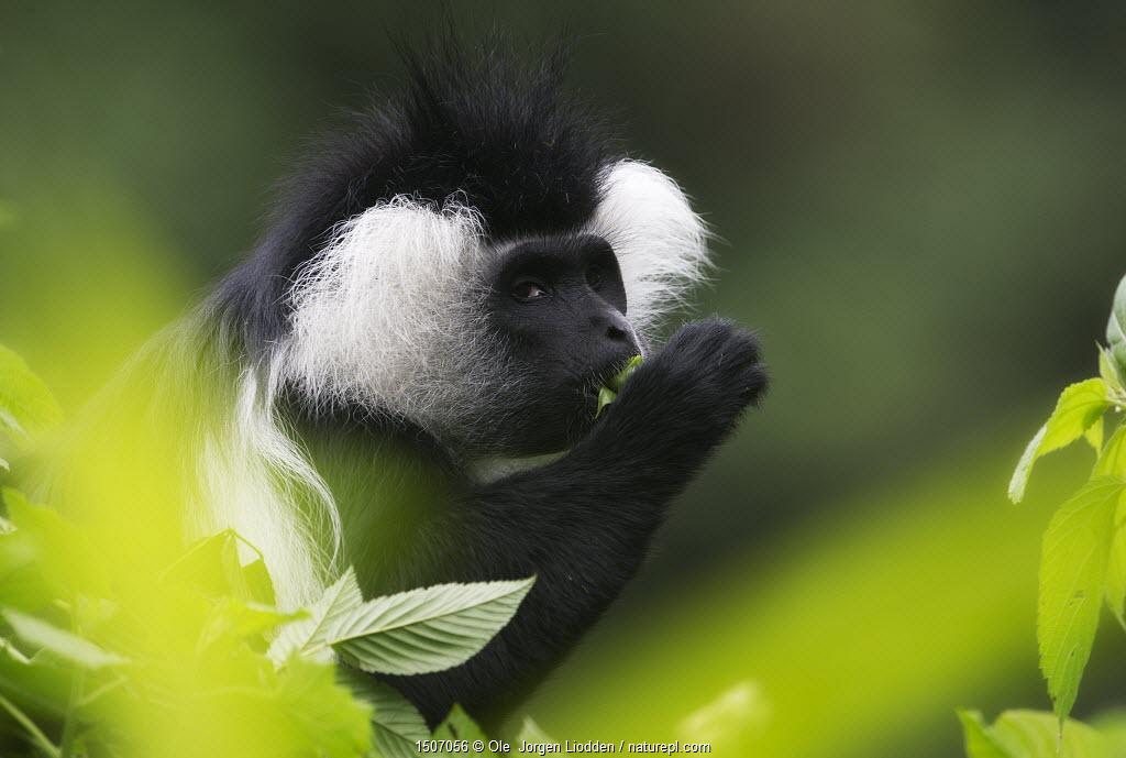 L'Hoest's monkey (Cercopithecus lhoesti) feeding on leaves, Rwanda.