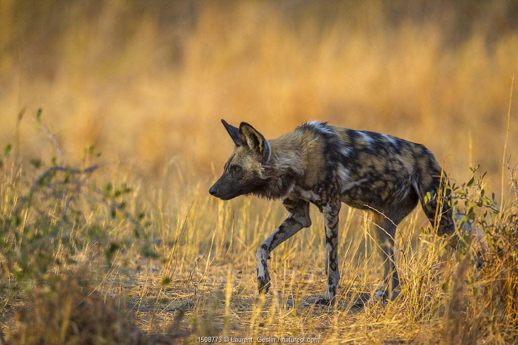 African wild dog (Lycaon pictus) walking, Okavango Delta, Botswana.