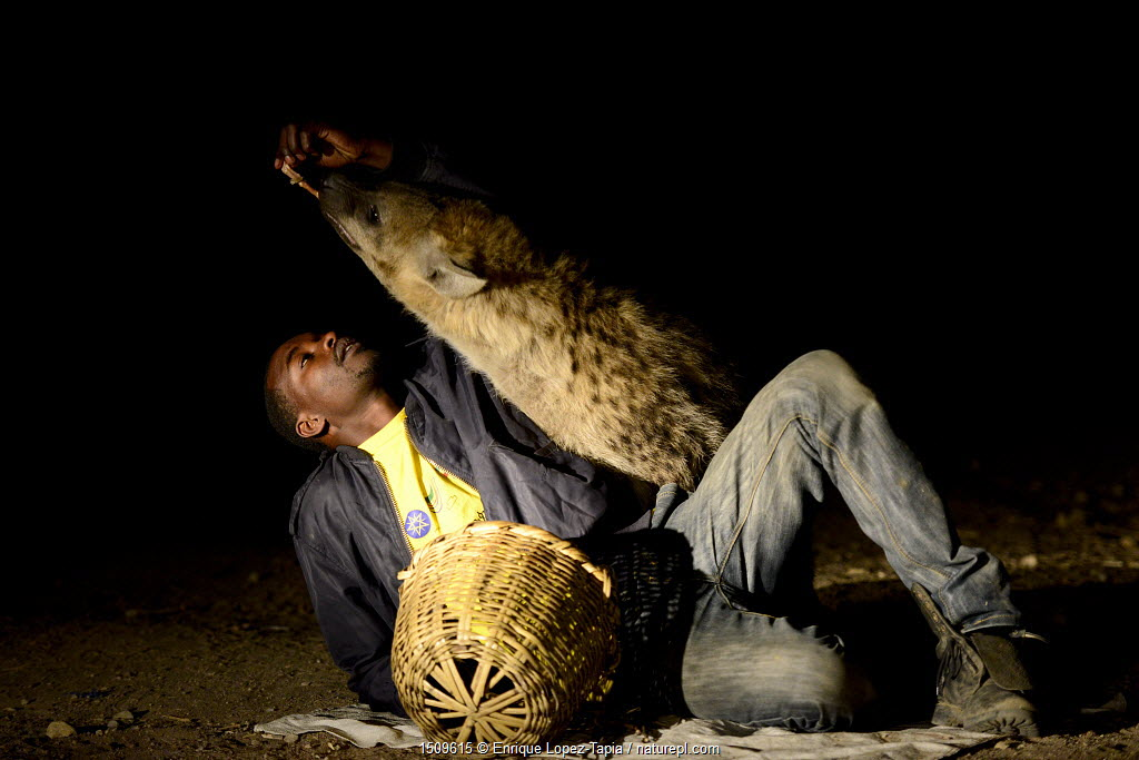 Man feeding Hyaenas (Crocuta crocuta) at night in Harar City, this has been a tradition for several centuries, and has now become a show for tourists. Ethiopia