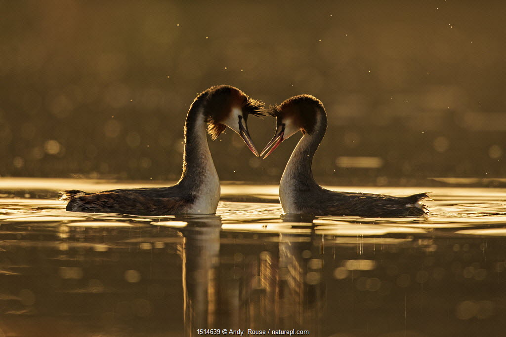 Great crested grebe (Podiceps cristatus cristatus) courtship dance at dawn, Cardiff, UK, March.
