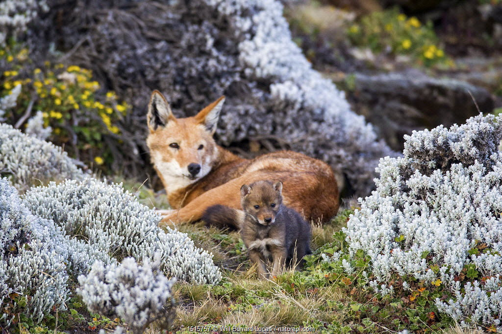 Ethiopian wolf (Canis simensis) adult watching young cub exploring, Bale Mountains, Ethiopia