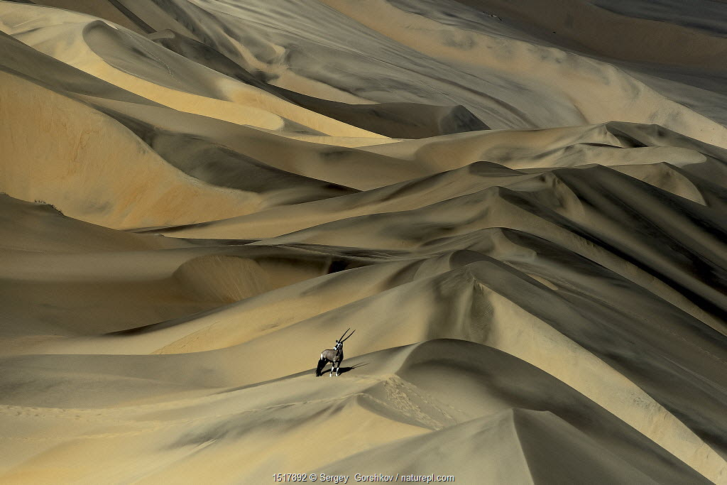 Gemsbok (Oryx gazella) in sand dunes, Namibia. Finalist in the Mammals Category of the Wildlife Photographer of the Year Awards (WPOY) Competition 2015.