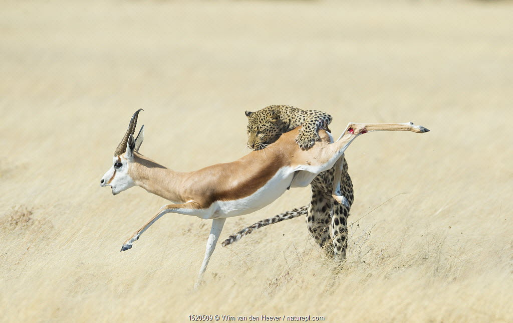 Leopard (Panthera pardus) hunting Springbok (Antidorcas marsupialis) Etosha, Namibia, Finalist in the Mammals Category of the Wildlife Photographer of the Year 2015.