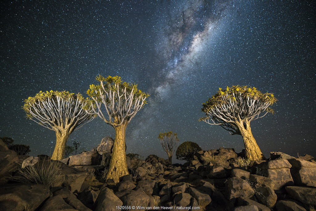 Quiver tree forest (Aloe dichotoma) at night with stars and the milky way, Keetmanshoop, Namibia