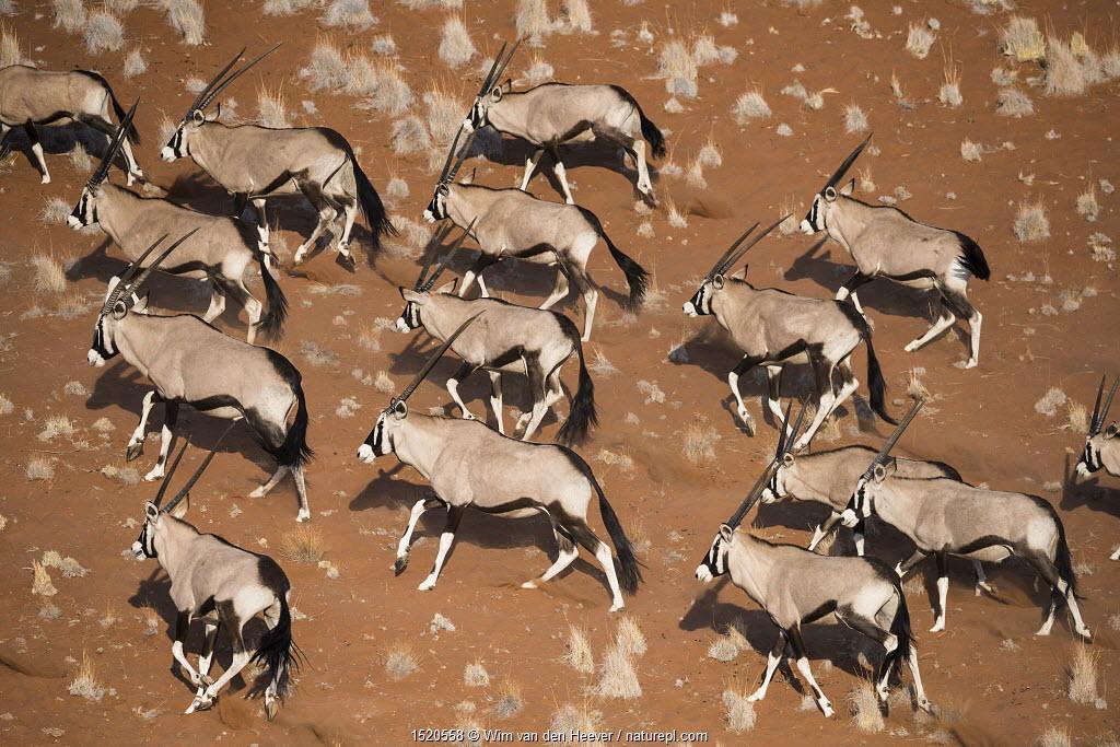 Gemsbok (Oryx gazella) viewed from above, Namib Desert, Namibia.