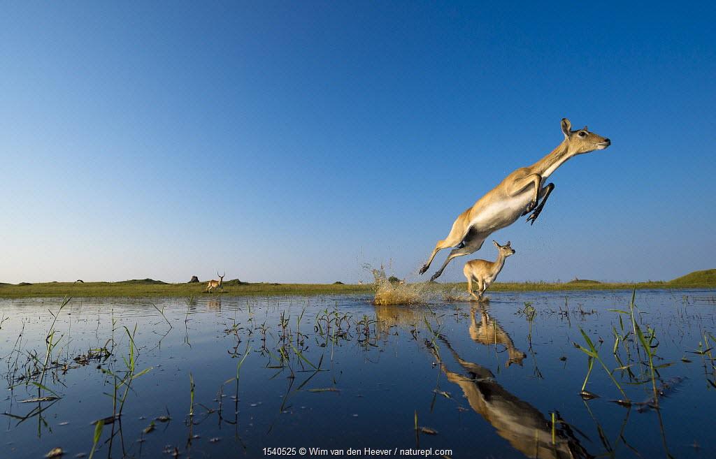 Southern Lechwe (Kobus lechwe) leaping through water, Okavango Delta, Botswana. Low angle remote camera shot