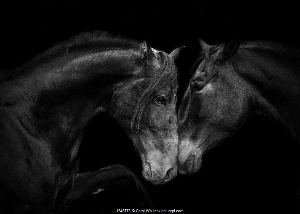Head portrait of black Andalusian mare and stallion meeting for the first time in Spain, Europe.