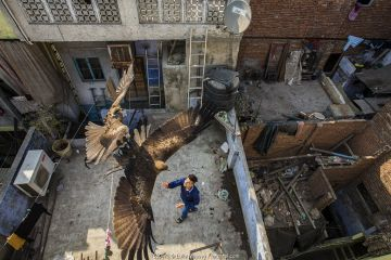 Black kites (Milvus migrans) flying above man as he throws food skyward from a rooftop. Old Delhi, India. February 2016. Finalist in the Urban category of the Wildlife Photographer of the Year Awards (WPOY) Competition 2016.