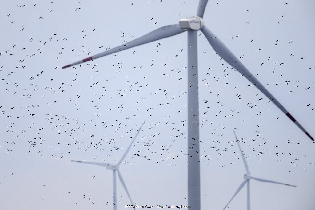 Kentish plover (Charadrius alexandrinus) flying around wind turbines. These wind turbines pose another obstacle to migratory shorebirds in the Yellow Sea. Rudong, China. October
