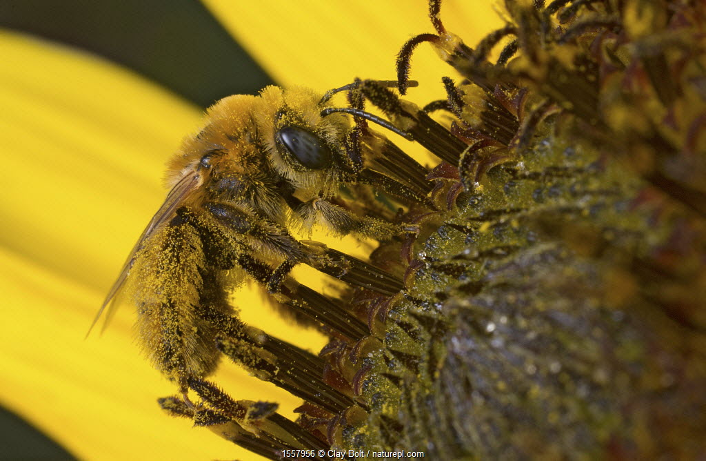Long-horned bee (Melissodes sp) female, collecting pollen on a sunflower in a community garden, Bozeman, Montana