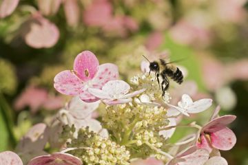 Rusty-patched bumblebee (Bombus affinis) male resting on hydrangea, Madison, Wisconsin, USA, August.