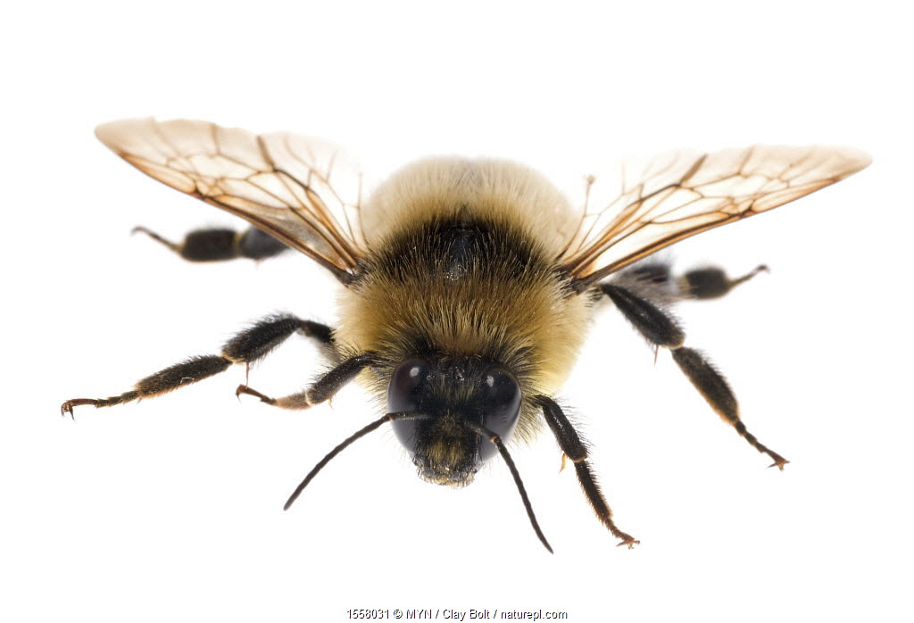 Red-belted bumble bee (Bombus ruficinctus) male, Madison, Wisconsin, USA, September. Vulnerable species.
