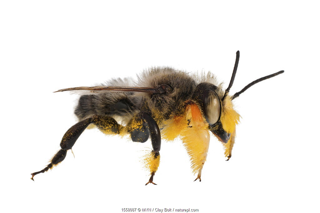 Fuzzy-legged leafcutter bee (Megachile melanophaea), males use the mat of hairs on their front legs to cover the eyes of females during mating. Madison, Wisconsin, USA.
