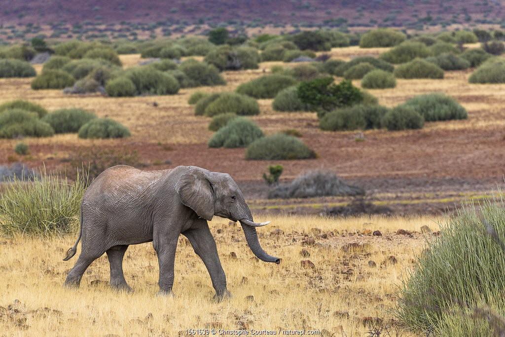 Desert dwelling African elephant (Loxodonta africana) Damaraland, Namibia