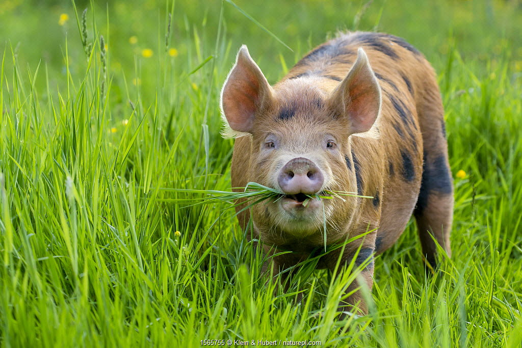 Domestic Tamworth x Berkshire pig in meadow in spring, Germany