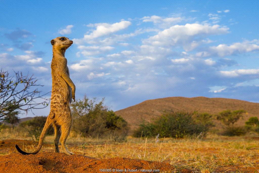 Meerkat (Suricata suricatta) standing alert, Kalahari Desert, South Africa.