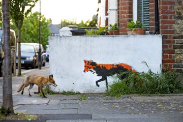 Urban Red fox (Vulpes vulpes) walking past wall with red fox mural / graffiti . North London, England, UK, April.