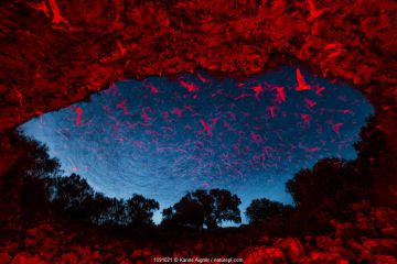 Mexican free-tailed bats (Tadarida brasiliensis) leaving maternity colony at night to feed, with red lighting at entrance to cave. Bracken Cave, San Antonio, Texas, USA, July. Bracken Cave is the world's largest bat maternity colony.