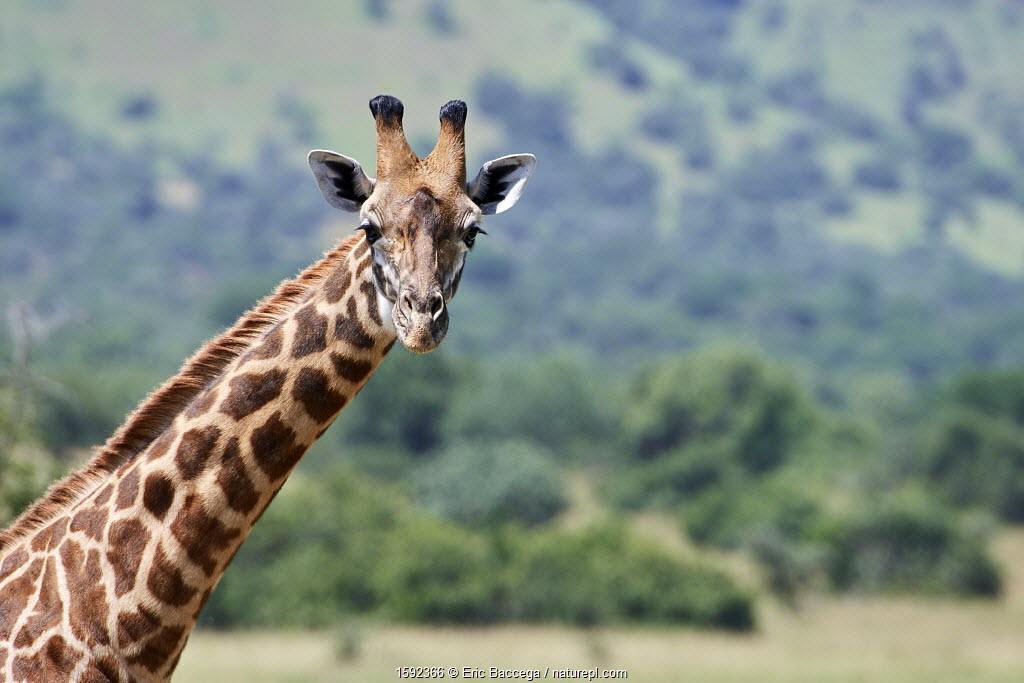 Maasai giraffe (Giraffa camelopardalis tippelskirchi) portrait, Akagera National Park, Rwanda, Africa.