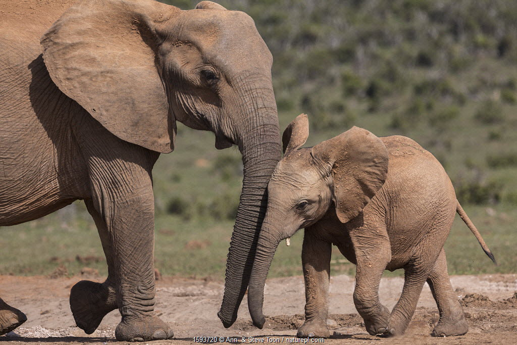 African elephant (Loxodonta africana) with calf, Addo National Park, Eastern Cape, South Africa, October.